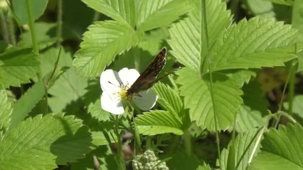 motýl na bílý květ
