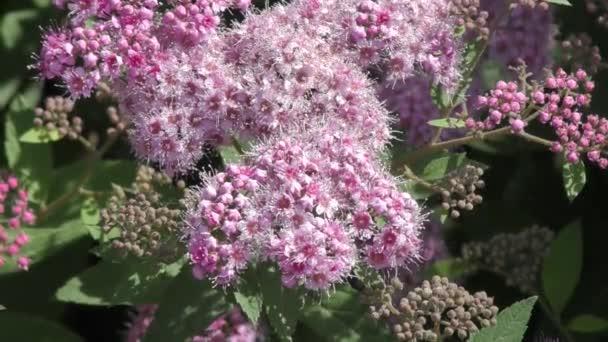 Spirea flower pink stock video galkin57 113073736 spirea flower pink stock video mightylinksfo