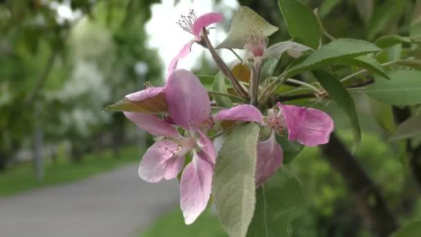 Virágszálnak Apple vele rózsaszín színű