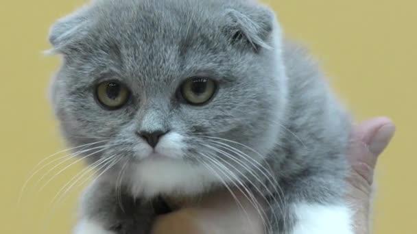 Britský zběsilého útoku kotě