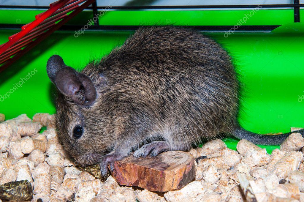 Degu südamerikanischen Arten Kleinnager — Stockfoto