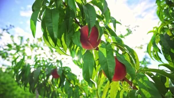 Große saftige Pfirsiche auf dem Baum. Früchte reifen in der Sonne. Mehrere Pfirsiche hängen an einem Ast im Obstgarten. Obstpflückzeit. Pfirsichfrüchte. Landwirtschaft. Sonnenlicht. Gesunde Ernährung. Bioprodukt.