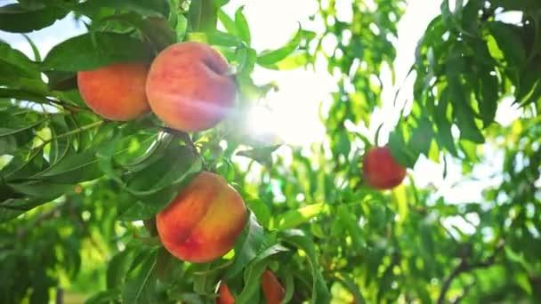 Barack lóg egy faágon a gyümölcsösben. Gyümölcsszedő szezon. Nagy lédús őszibarack a fán. Mesés gyümölcsös. Varázslatos napfény. A gyümölcsök érik a napot. Barack gyümölcs. Mezőgazdaság. Egészséges étel. Szerves