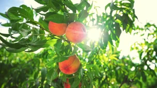 Nagy lédús őszibarack a fán. Gyümölcs őszibarack kert. Mesés gyümölcsös. Varázslatos napfény. A gyümölcsök érik a napot. Mezőgazdaság. Barack lóg egy faágon a gyümölcsösben. Gyümölcsszedő szezon. Egészséges étel. Szerves