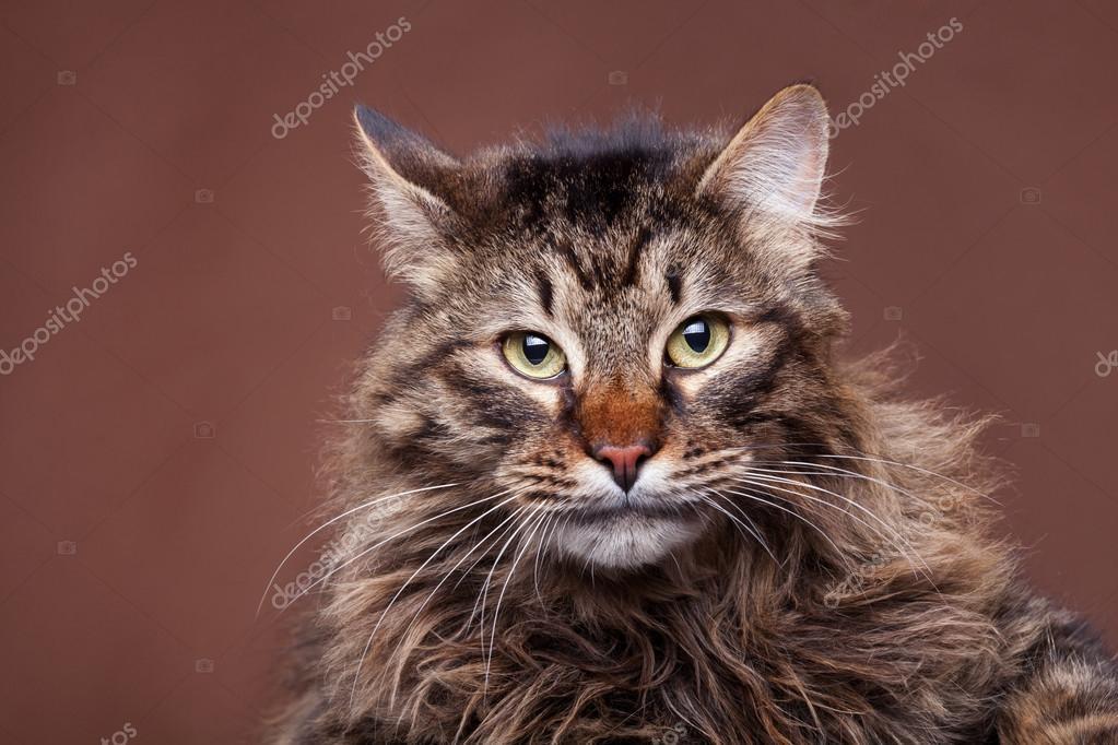 Gatto Arrabbiato Del Coon Della Maine Su Priorità Bassa Marrone