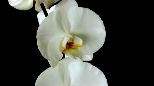 Detail videa bílé velké květy orchidejí na černém pozadí. Pohyb kamery nahoru