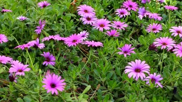 Květu fialovou Daisy Gerbera v zahradě