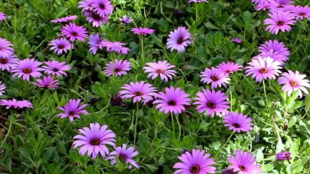 Flowering Purple Daisy or Gerbera in Garden