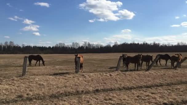Mnoho hnědý kůň ve výběhu.