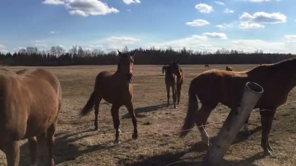 Many horses in the paddock.