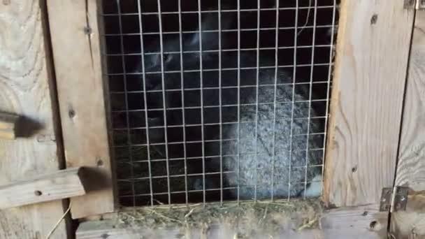 Kamera se pohybuje zleva doprava a odstraní mnoho králíků v klecích.