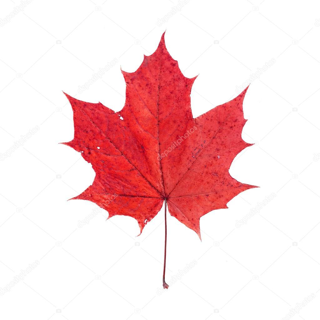 Foglia di acero rosso isolato su sfondo bianco foto for Acero rosso canadese prezzo