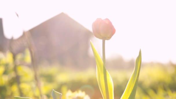 Magányos tulip imbolygott a szélben.