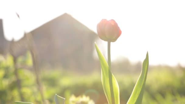 Osamělý Tulipán kymácí ve větru.