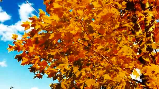 Javorové listy na podzim.