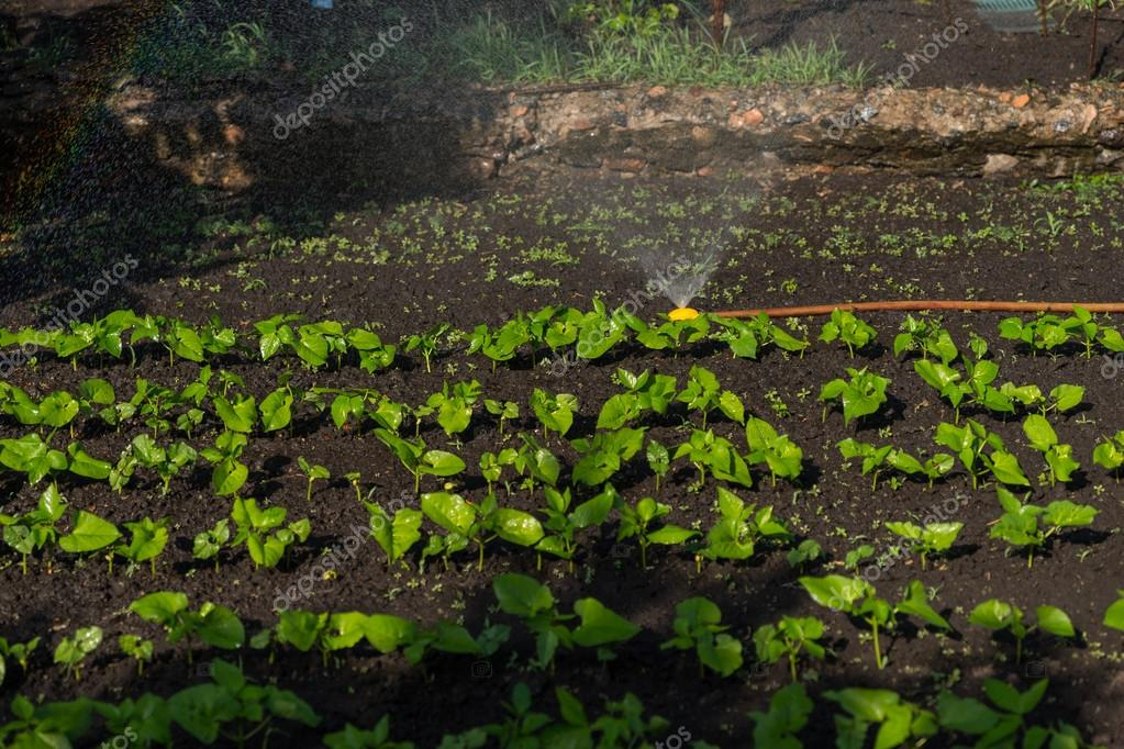 Watering Rows of Young Green Seedlings in Garden