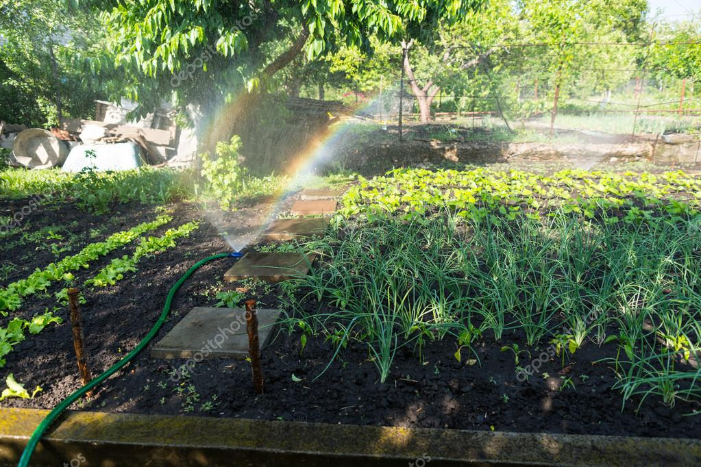 Watering a vegetable garden with a sprinkler