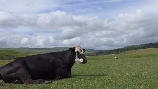 Černá kráva v highland