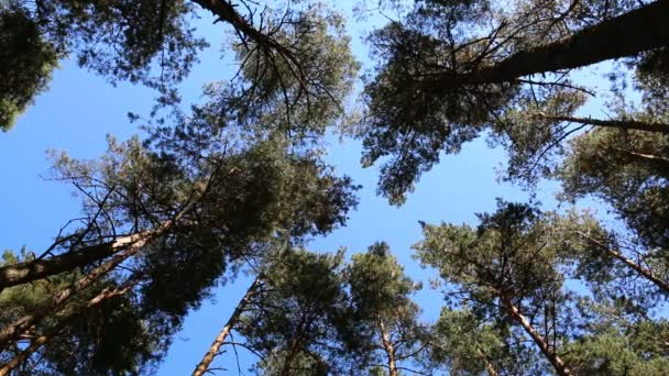 Pine tree tops blue sky