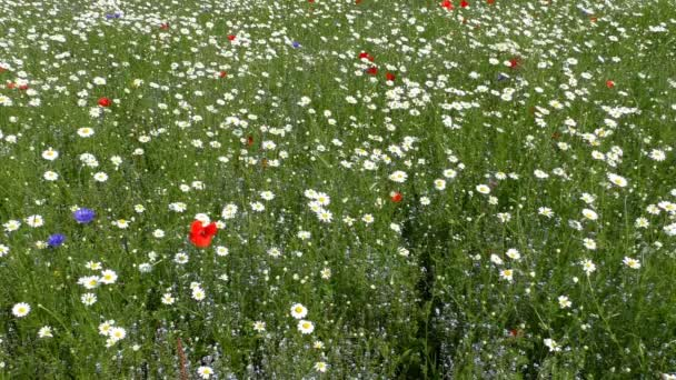 Daisies, poppies and cornflowers meadow background