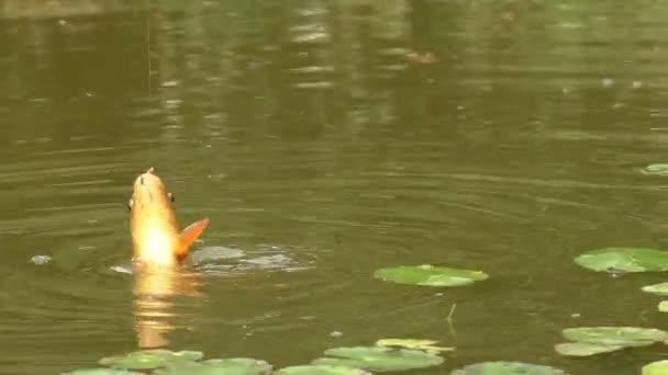 Rybář používá síť vytáhnout rybu z vody