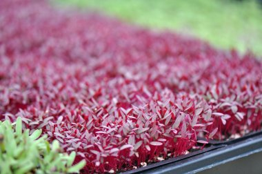 Microgreen Herbs