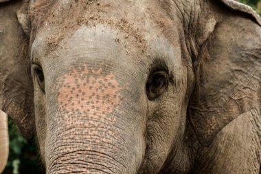 """Картина, постер, плакат, фотообои """"слоны - это животные с маленькими глазами. глаза торгового центра, женские слоны по сравнению с их размерами. животные арт природа"""", артикул 442534546"""