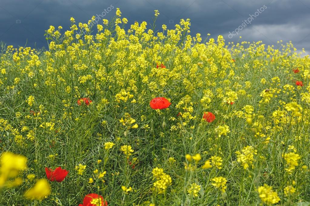 fleurs de pavot rouge dans les champs de colza huile. Black Bedroom Furniture Sets. Home Design Ideas