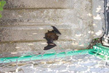 Bat sleeping on the floor in daytime