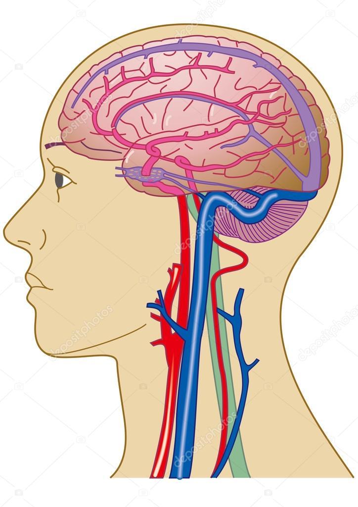 Cerebro y los vasos sanguíneos — Fotos de Stock © factorie #84058914