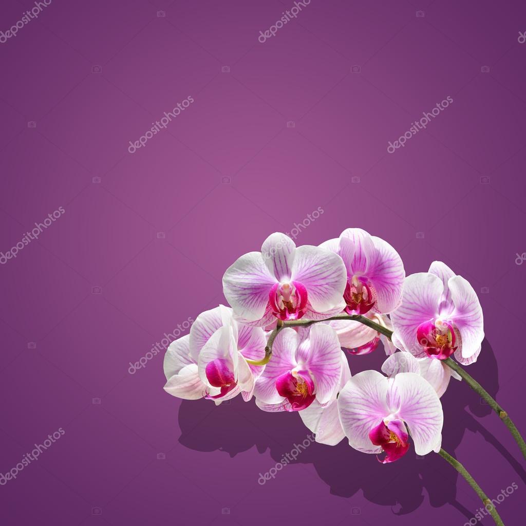 Sfondi orchidee fiori