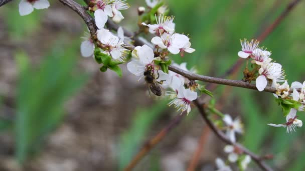 Honey bee on apple tree in spring with white blossoms and green leaves in the garden. Spring flower concept.