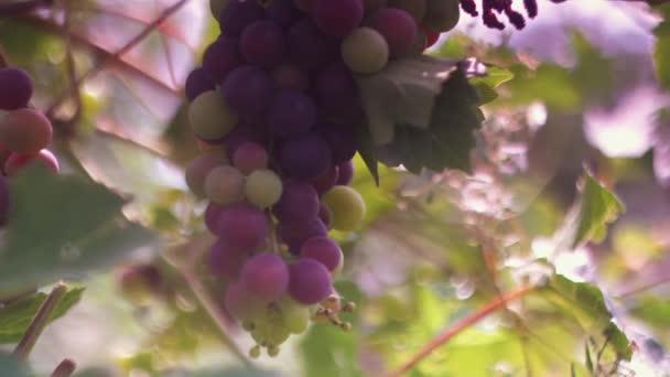 Hrozny na větvi na vinici. Hromada zralých hroznů