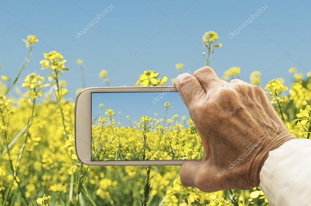Old hand taking photography of oilseed rapeseed flowers field.