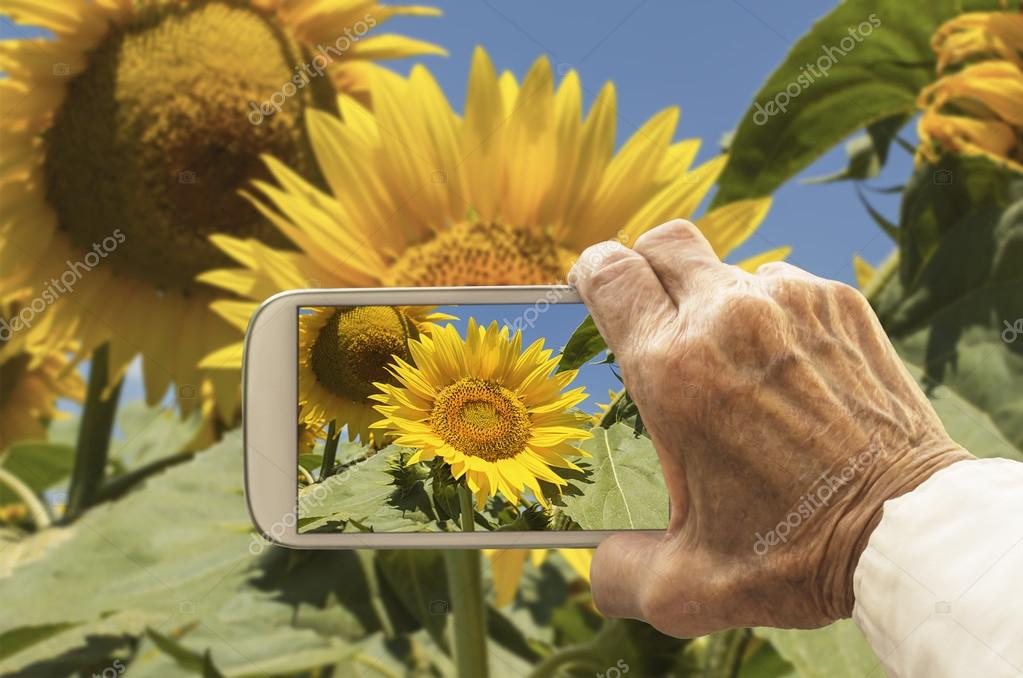 Old hand taking photography of sunflowers field.