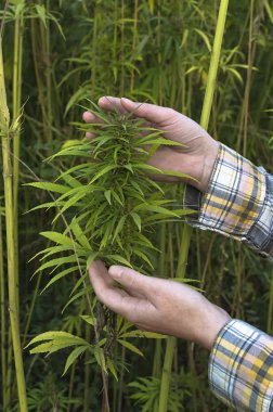 Farmer examination industrial hemp.