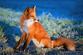 Photo Animal Fox