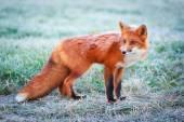 Zvířecí Fox