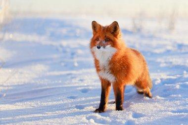 Red fox stock vector