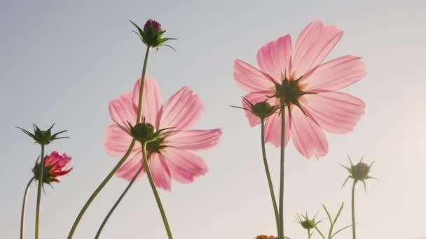 Kozmosz virágok virágzik a reggeli nap egy széles területen.