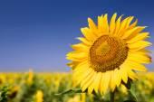 Fotografie Detail fotografie slunečnice proti modré obloze