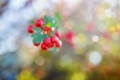 Fotografie Ripe hawthorn in autumn