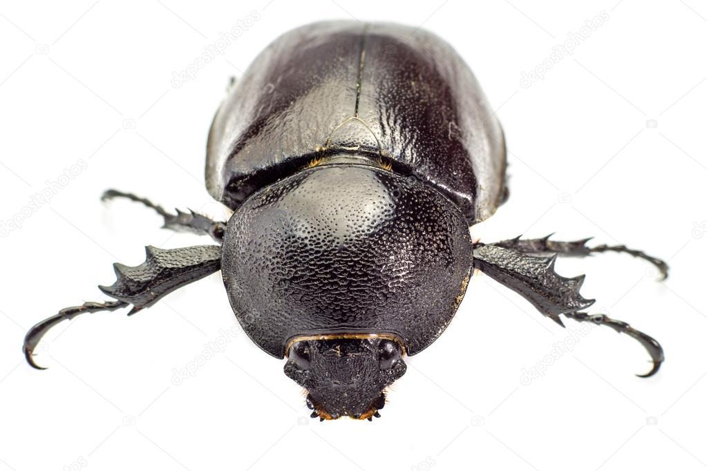 Beetle,Rhinoceros beetle, Rhino beetle, Hercules beetle, Unicorn