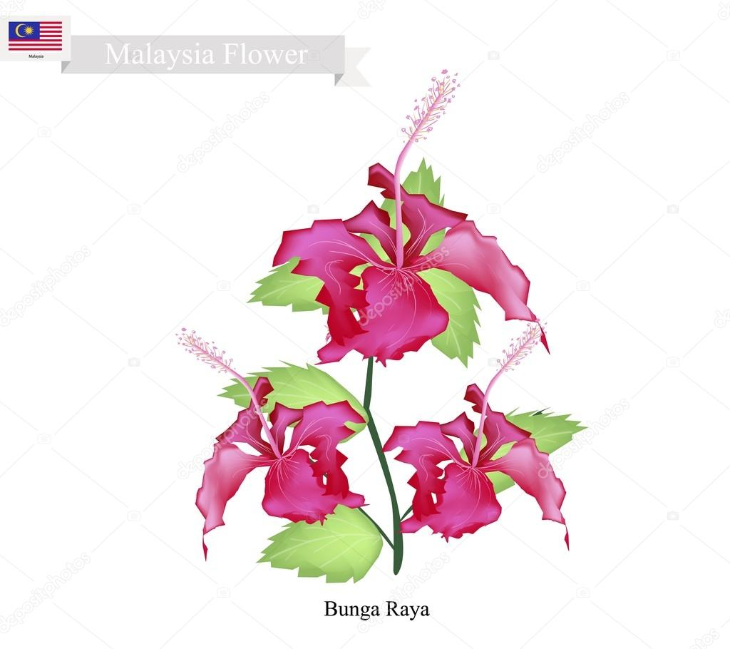 Vector Jamaica National Flower Hibiscus National Flower Of Malaysia Bunga Raya Or Hibiscus Flowers Stock Vector C Iamnee 108240816