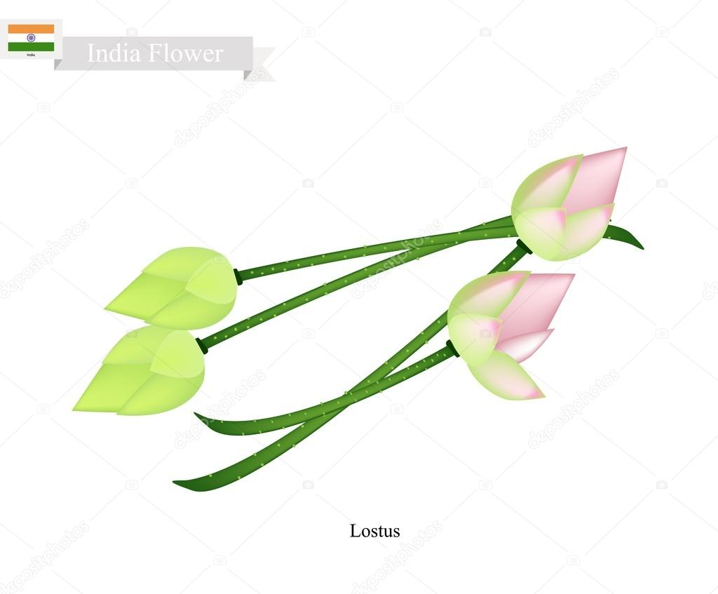 Water Lily Blossom The National Flower Of India Stock Vector