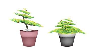 Two Beautiful Fir Tree in Flower Pots