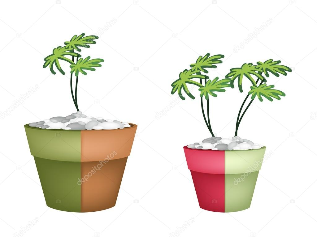 Two Evergreen Plant in Ceramic Pots