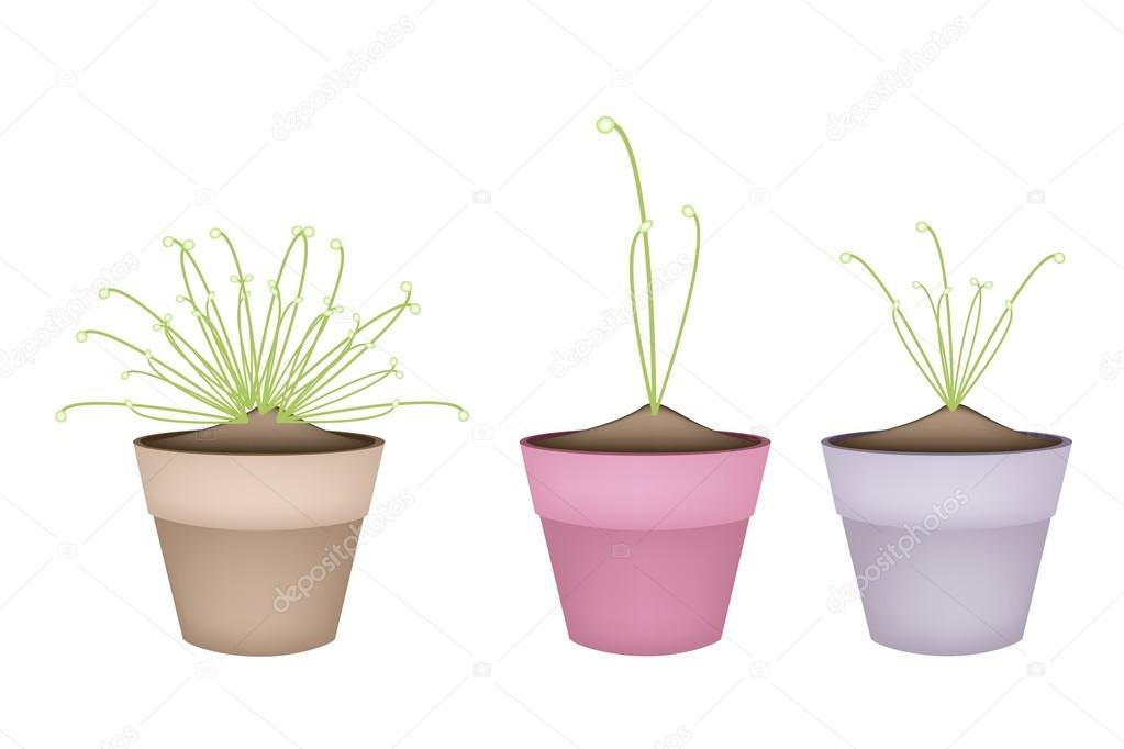 Three Cyperus Papyrus Plant in Ceramic Flower Pots