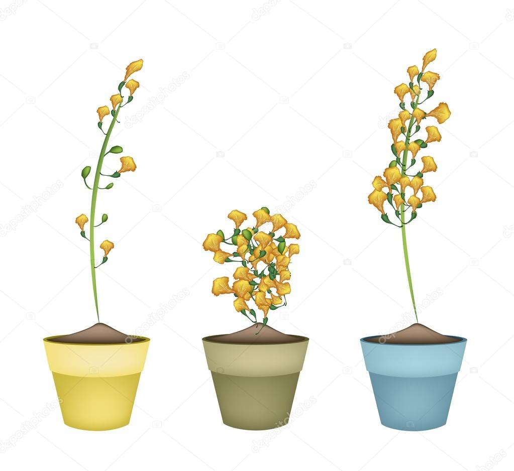 Yellow Padauk Flower In Ceramic Flower Pots Stock Vector Iamnee