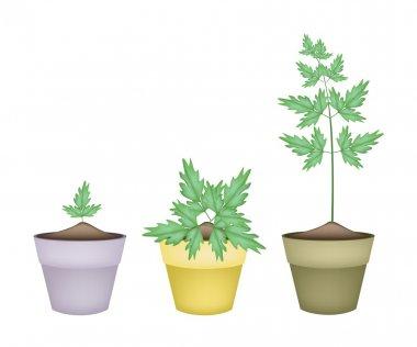 Three Water Dropwort in Ceramic Flower Pots